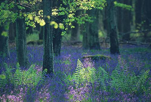 New Forest image: Bluebells and ferns