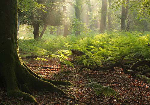 New Forest Images Image Summer Dawn In Matley Wood