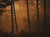 Silhouetted conifer trunks 