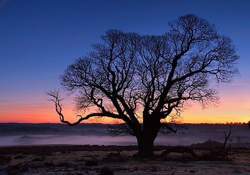 New Forest image: Winter Oak at Mogshade Hill
