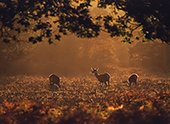 Red deer hinds in evening light 