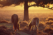 Ponies Grazing by a Pine Tree 