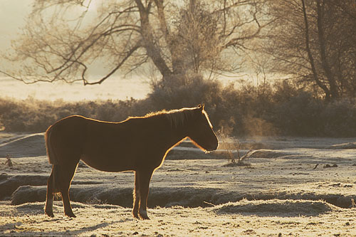 New Forest Ponies : New Forest Pony Warming up on a Frosty Morning