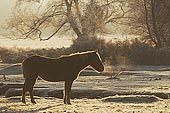 New Forest Pony Warming up on a Frosty Morning 
