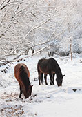 Ponies in the Snow near Bramshaw 
