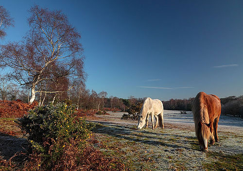 New Forest Ponies : Ponies at Furzley Common