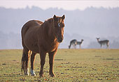 New Forest Pony  and Fallow Deer 