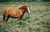 New Forest pony among heather at Rockford Common 