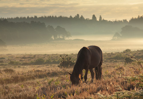 New Forest Ponies : Pony at Markway Hill