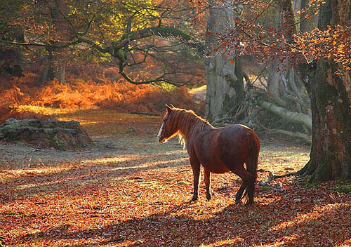 New Forest Ponies : New Forest Pony in Mark Ash Wood in Autumn