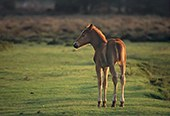 New Forest Pony Foal in evening light 